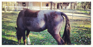 horse clippers