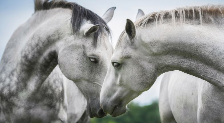 Two grey horses touching noses.