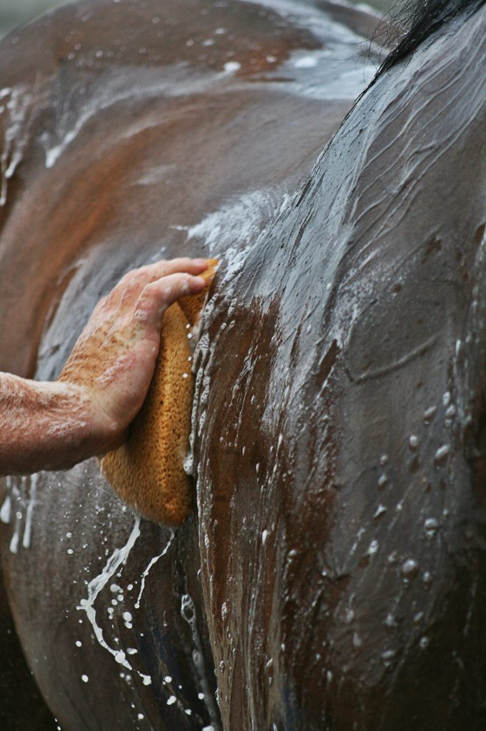 Close up image of a hand holding sponge while giving a horse a bath in the summer.