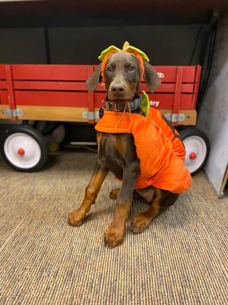 Brown puppy dressed in a pumpkin Halloween costume.