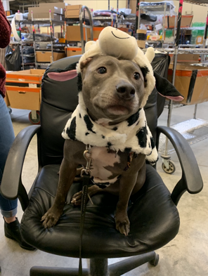 Grey mini pitbull sitting on a chair dressed as a cow.
