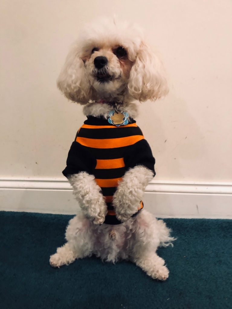 Small white dog dressed in orange and black pumpkin Halloween costume.