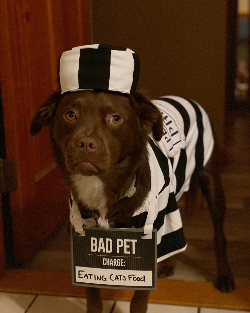 Brown dog dressed up in a white and black inmate Halloween costume.