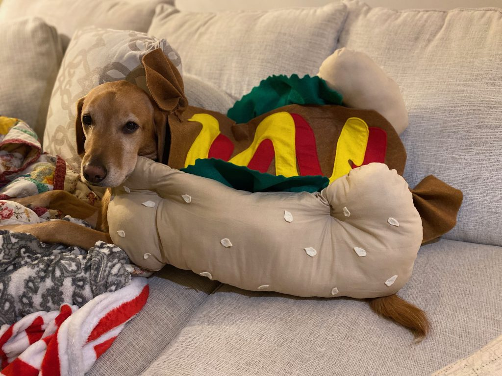 Dog dressed up in hot dog Halloween costume.